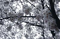 Sakura9_3